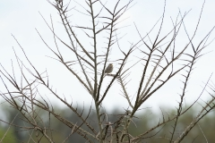 Bruant proyer (Miliaria calandra)