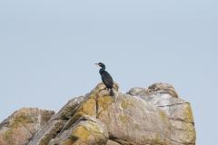 Cormoran huppé sur un rocher près de Ploumanac'h