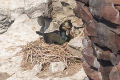 Cormoran huppé nichant sur une falaise près du Cap Fréhel