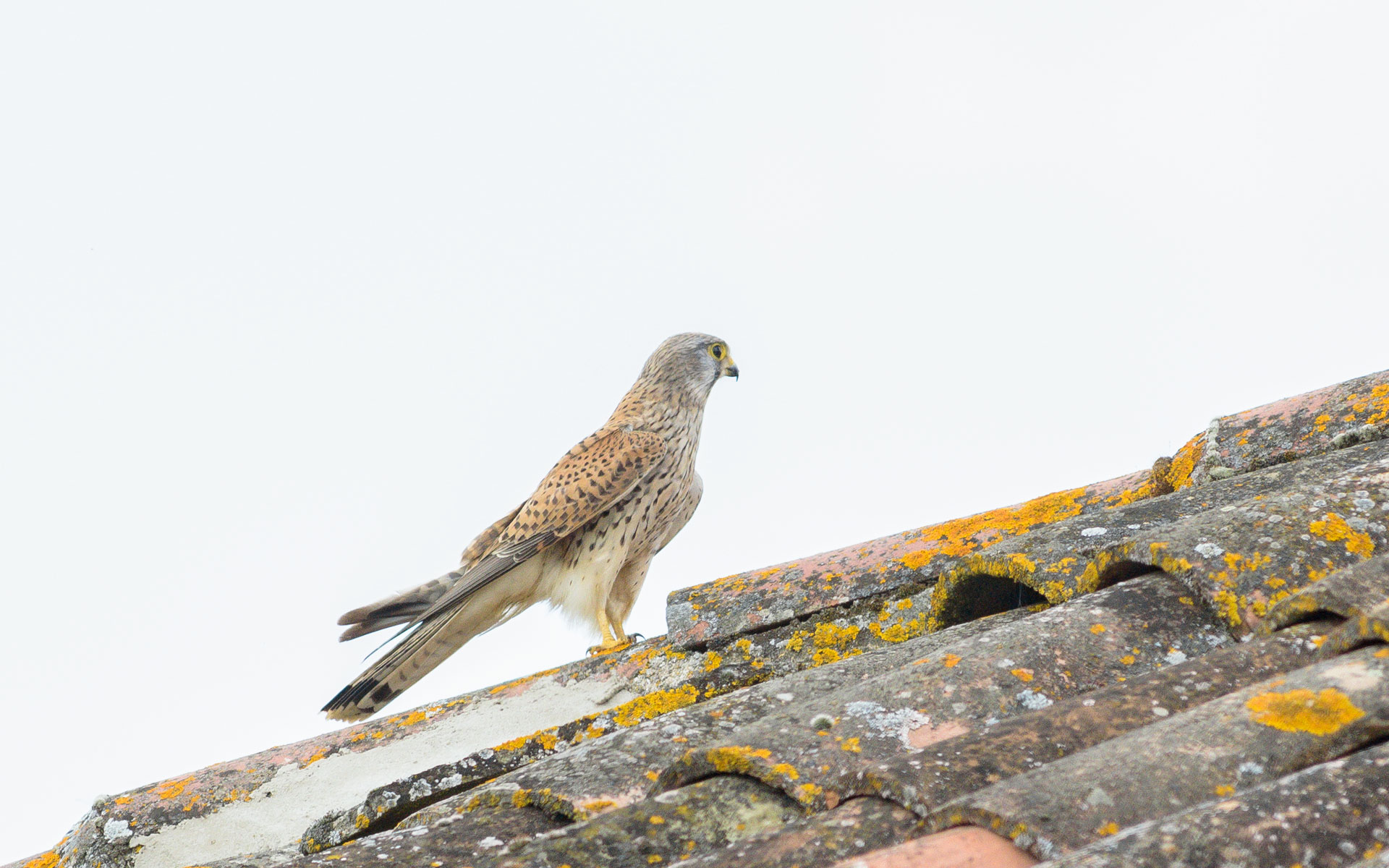 Faucon crécerelle (Falco tinnunculus)