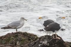 Couple de Goélands marins et un jeune