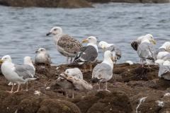 Goéland marin parmi des goélands argentés