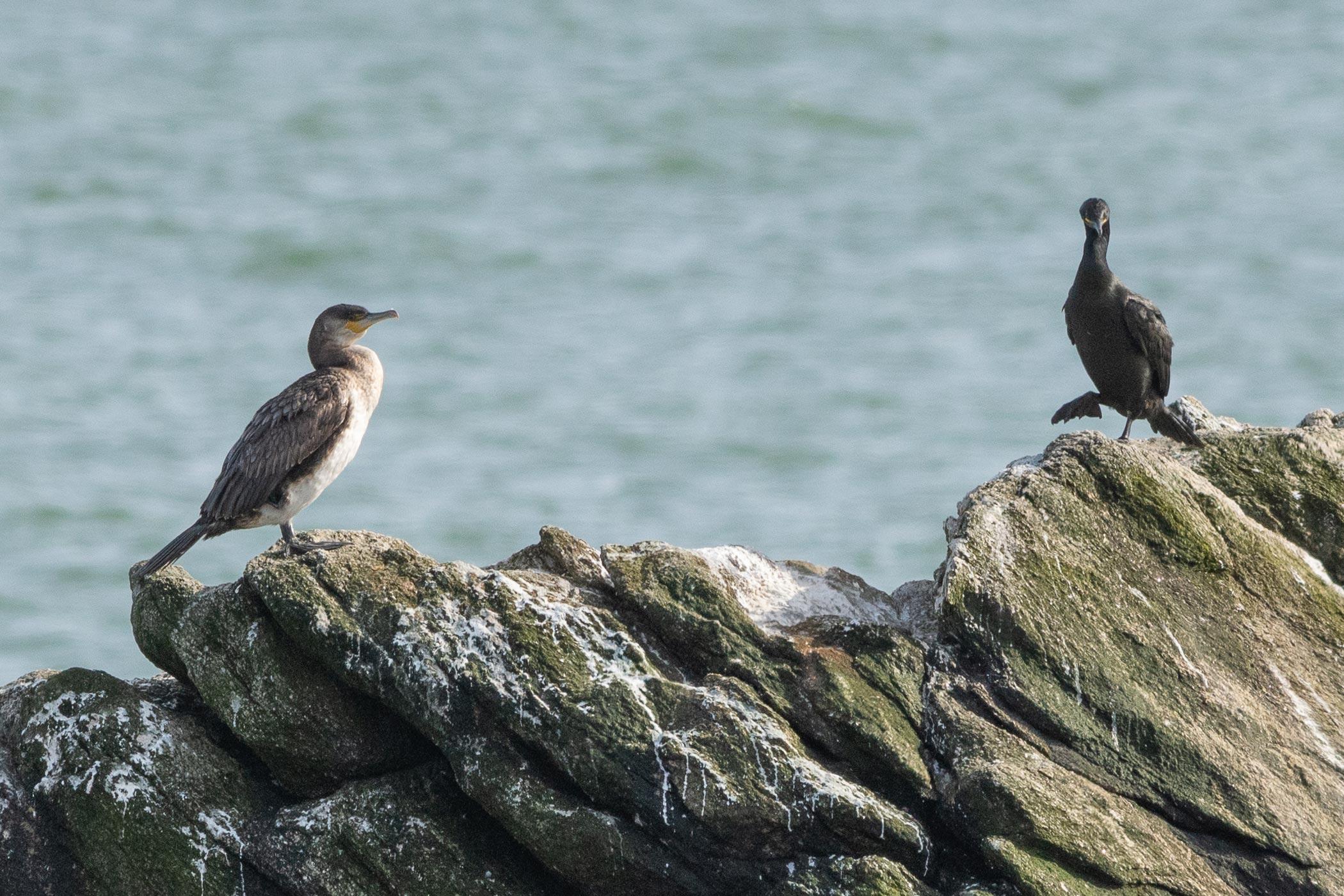 Grand Cormoran et Cormoran huppé