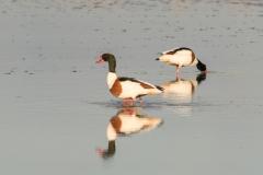 Tadornes de Belon (mâle et femelle)